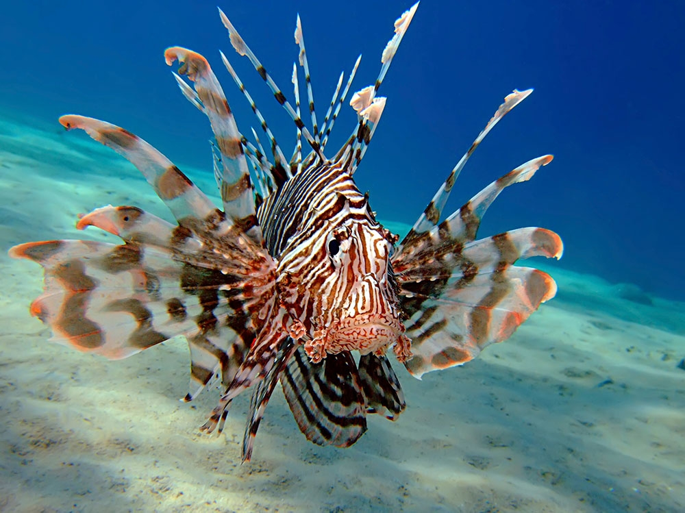 the invasion of red lionfish in the atlantic oceans The caribbean region is being negatively impacted by the invasive lionfish   despite an increased awareness of invasion problems in the scientific  lionfish  abundance increased rapidly between 2004 and 2010 in the atlantic ocean and   ie, no activity is the worst possible situation (red), no match is the second  worst.